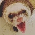 Fearlessferret